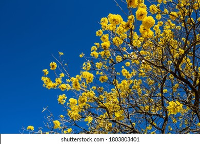 GOIANIA/GOIAS/BRASIL - AUGUST 26 2020: Yellow flowered ipe. Yellow ipe canopy detail.
