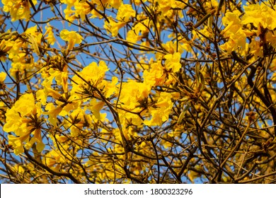 GOIANIA/GOIAS/BRAZIL - AUGUST 21 2020: Yellow flowered ipe. Details of yellow ipe branches.