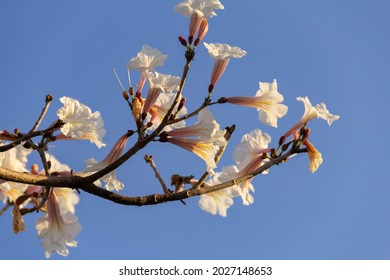 GOIÂNIA GOIAS BRAZIL – AUGUST 16 2021:  Detail of a flowering white ipe with a blue sky in the background.