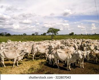 Goias, Brazil , december 23, 2003. Herd of brahman beef cattle cows in rural Goias