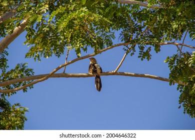 GOIÂNIA GOIAS BRAZIL - JULY 08 2021:  A Guira Cuckoo (Guira guira) on a tree branch with blue sky in the background. (Anu-Branco)