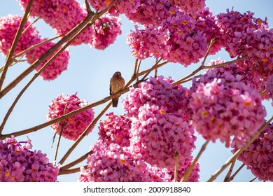 GOIÂNIA GOIAS BRAZIL - JULY 17 2021:  A bird resting on a branch of a pink flowering ipe with blue sky in the background.