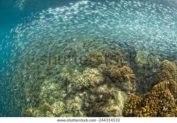 going Inside a giant sardines school of fish in the reef and blue sea
