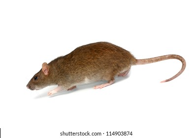 going rat, isolated on the white