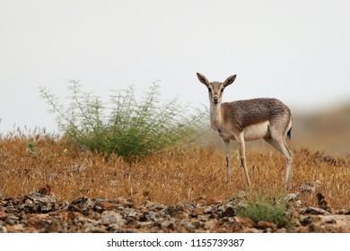 Goiter ed gazelle Gazella subgutturosa