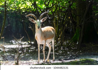 Goitered or black-tailed gazelle (Gazella subgutturosa) male