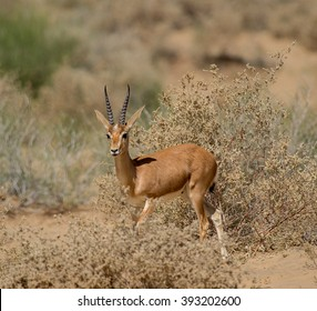 Goitered gazelle in the desert of  India
