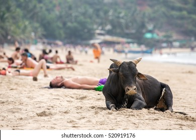 Gokarna, India - January 16, 2016: Big black bull and tourists having sunbath at the beach in Gokarna, India