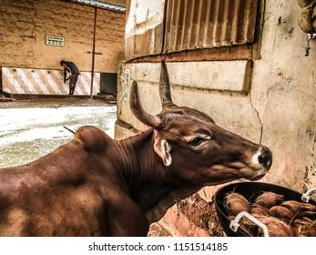 Gokarna Karnataka India November 11, 2017 View of a cow in the main street of Gokarna town in the afternoon