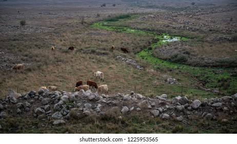 Golan Heights  Cows