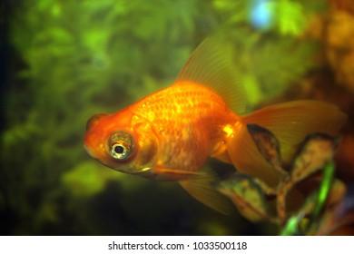 Gold aquarium fish.