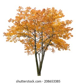 gold autumn maple tree isolated on white background