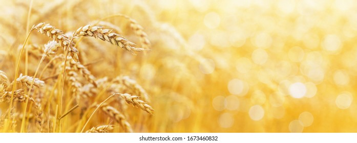Gold background with wheat ears and free space for text. Panorama - Shutterstock ID 1673460832