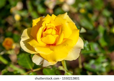 Gold Badge, Cl. rose flower in the field. Scientific name: Rosa 'Gold Badge, Cl.'. Flower bloom Color: Medium yellow.
