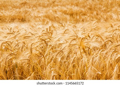 gold barley field background (agriculture, agronomy, industry concept)