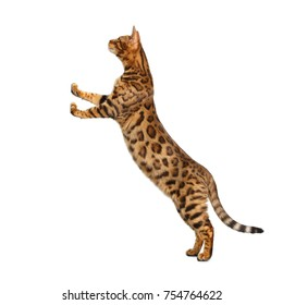 Gold Bengal Cat Standing Rearing up on support and Looking up, on isolated White Background, side view