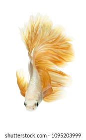Gold Betta Siamese fighting fish, Betta splendens Pla-kad Thai. Betta fish rose tail isolated on black