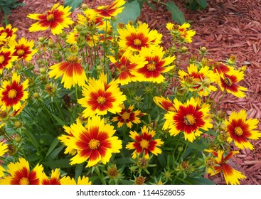 Gold and Bronze Coreopsis Flowers