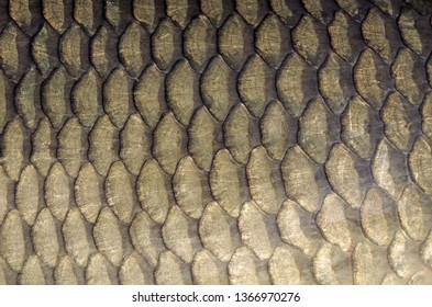 Gold carp scales background. Close-up on carp scales