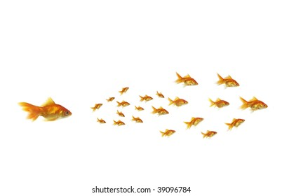 gold chasing on white background shoal fish