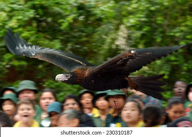 GOLD COAST, AUS - NOV 04 2014:Majestic Wedge-tailed Eagle fly above a crowed of people during flight bird show in Currumbin Wildlife Sanctuary, Queensland. It's the largest bird of prey in Australia.