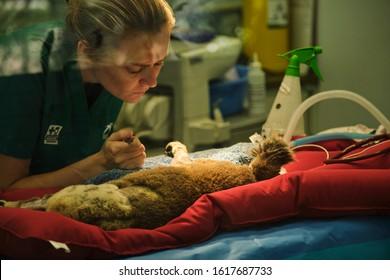 Gold Coast, Queensland / Australia - January 01 2020: Vet treating injured koala from Australian bush fires at Currumbin Wildlife Hospital