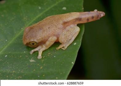 gold color juvenile frog resting on green leaf