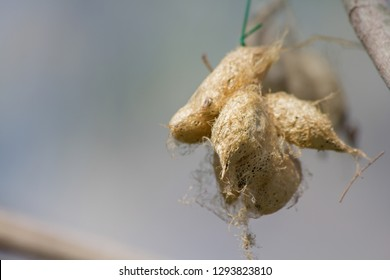 Gold color pupa of the butterfly that looks like a cocoon.