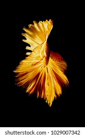 Gold color Siamese fighting fish with isolated on black background as beautiful action swimming as animal fine art Betta splendens