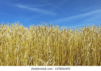 gold colored, dry elephant grass (miscanthus) in front of blue sky
