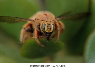 Gold colored male valley carpenter bee