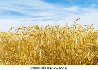 gold crop in field and clouds in blue sky over it