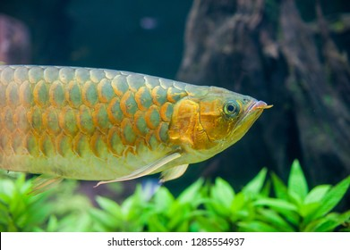 Gold Crossback Arowana is by far one of the most highly sought after arowana breed due to its brilliant gold color metallic sheen that shines when viewed under full-spectrum aquarium lighting.