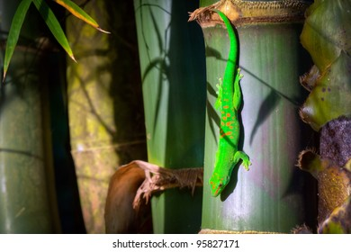The gold dust day gecko on bamboo. It lives in northern Madagascar, Reunion Island and on the Comoros.