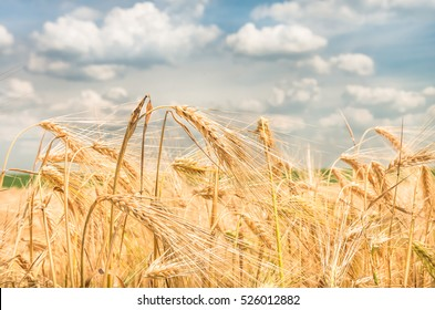 gold ears of wheat against the blue sky soft focus, closeup, agriculture background