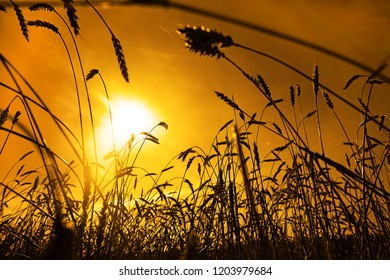 gold ears of wheat with sun. wheat field background. stem on yellow sunny sky backdrop. reach havister