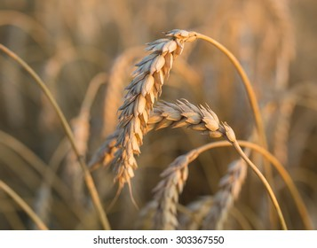 gold ears of wheat under sky, shallow depth of field.