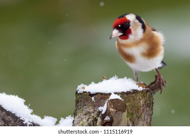 Gold finch sat on a snowy log in winter. Norfolk wildlife bird with red face and snow falling