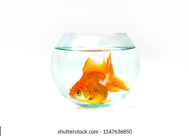 Gold fish with fishbowl isolation on the white background.Goldfish alone in the aquarium.Goldfish alone in the fishbowl.