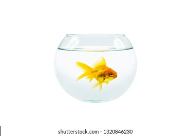 Gold fish with fishbowl isolation on the white background with clipping path.Goldfish alone in the aquarium.Goldfish alone in the fishbowl.
