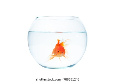 Gold fish with fishbowl isolation on the white background