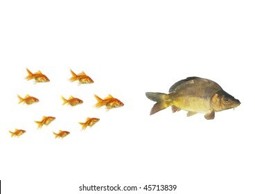 gold fish flowing for larger  on white background