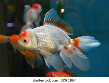 Gold fish, goldfish in aquarium