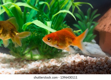 Gold fish or goldfish floating swimming underwater in fresh aquarium tank with green plant. marine life.