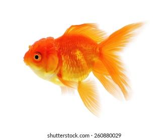 Gold fish, Goldfish Isolation on the white background.