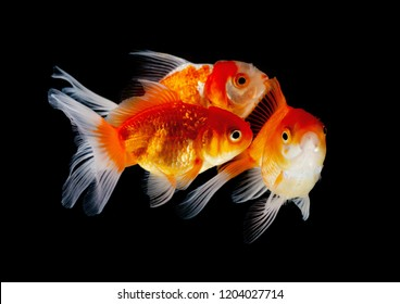 Gold Fish have fins, white sway beautiful bright 3 a black background