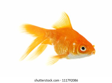 Gold fish. isolated on a white background