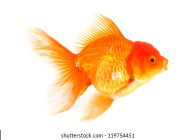 Gold fish isolated on a white background