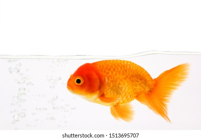 Gold Fish Isolated on White Background.