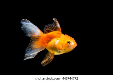 Gold fish. Isolation on the black